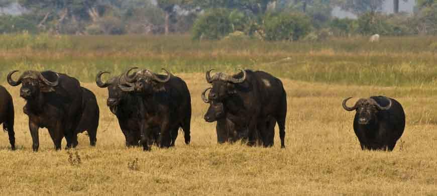 buffalo-dagga-boys-okavango.jpg