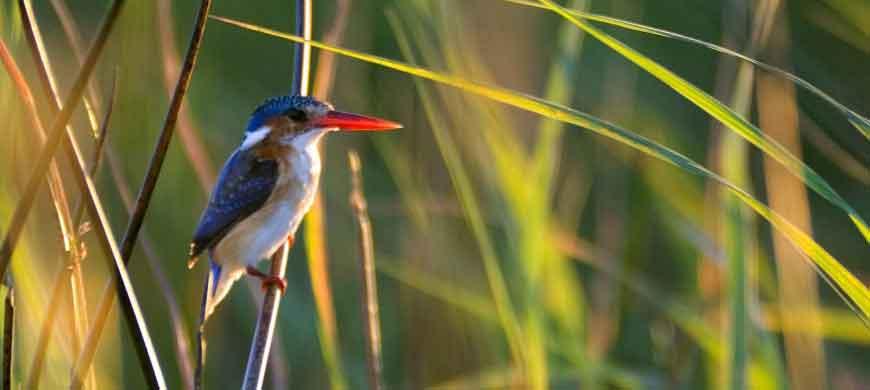 kingfisher-okavango.jpg