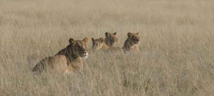 lion-pride-kalahari.jpg