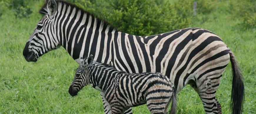 870_okavango_zebras.jpg
