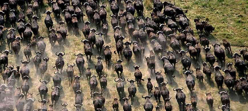 buffalo-run.jpg