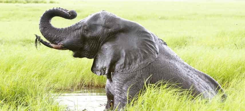 elephant-bull-chobe.jpg