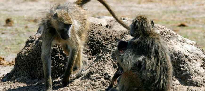 870_okavangochobe_baboons.jpg