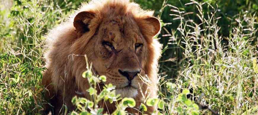 870_okavangochobe_lion.jpg