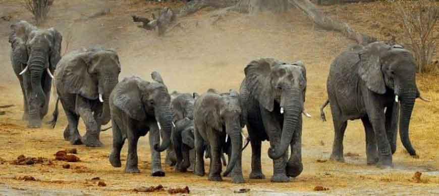 870_linyanti_elephants.jpg