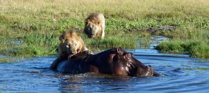 870_wildbotswana_lionhippo.jpg