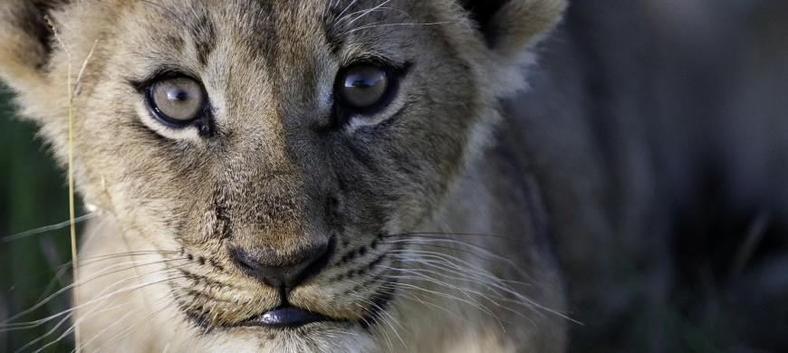 lion-cub-okavango.jpg