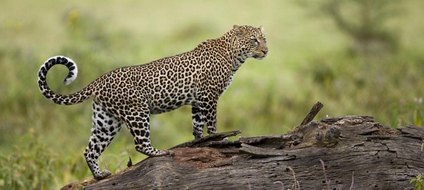 870_nakuru_leopard.jpg