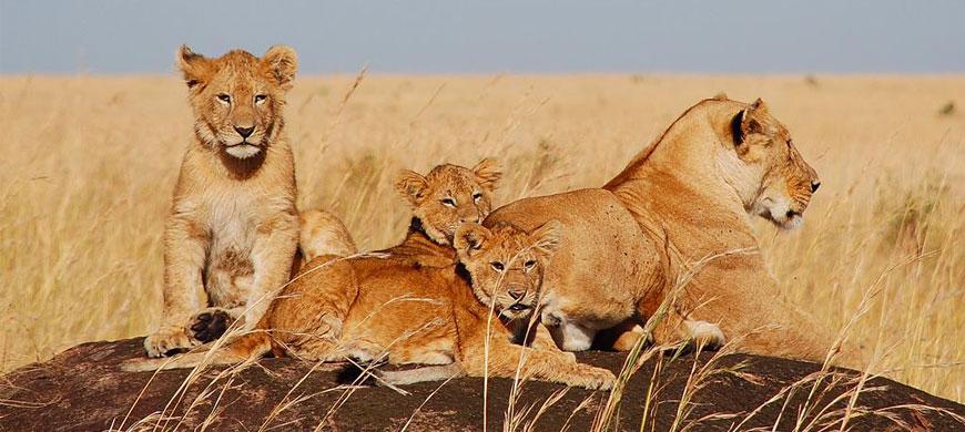 870_mara_lions.jpg