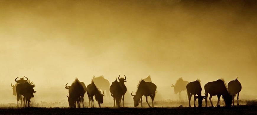 wildebeest_silhouette.jpg