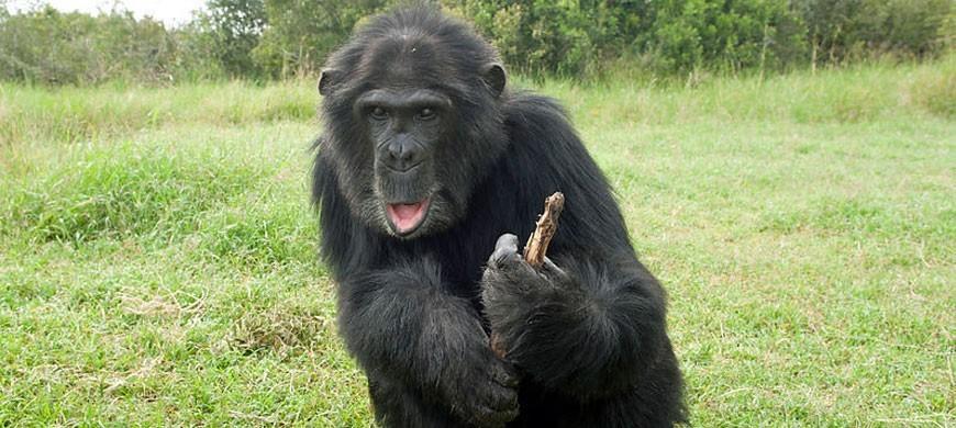 870_olpejeta_chimp.jpg
