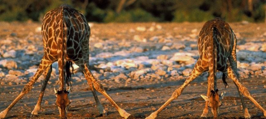 870_mbweha_giraffe.jpg
