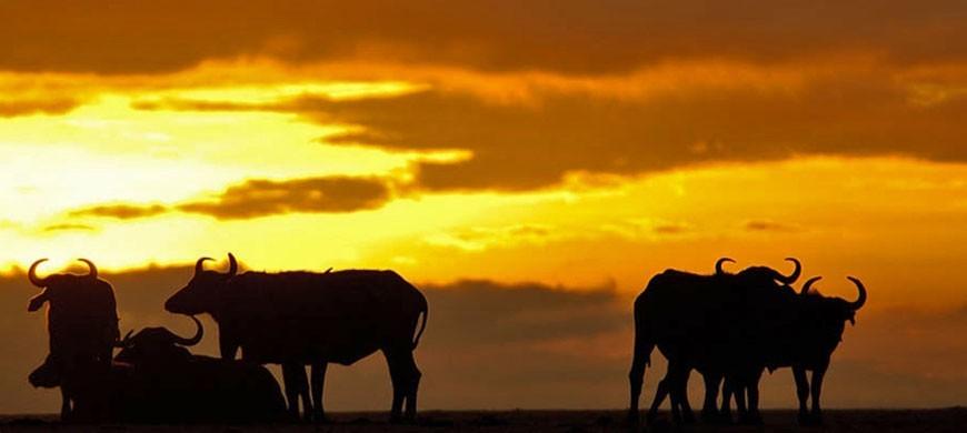 buffalo_1_wide.jpg