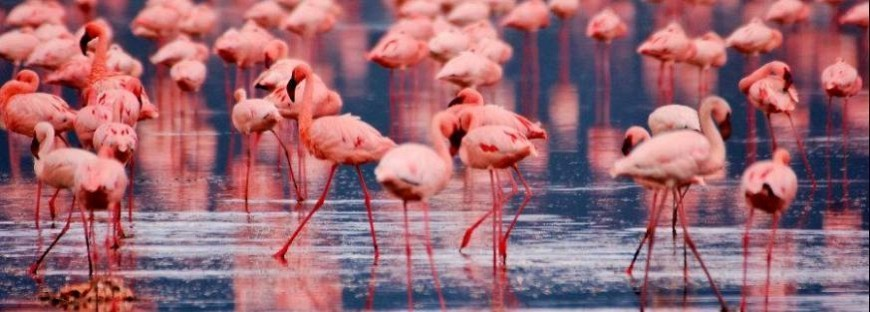 wide-nakuru-flamingo2_wide.jpg