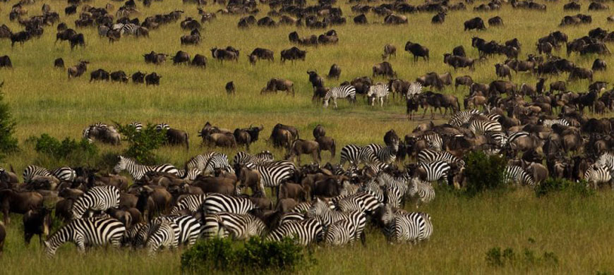 zebra_wildebeest_wide.jpg