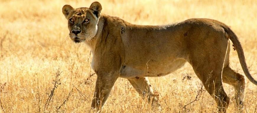 wide-kenya-lion.jpg