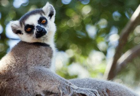 456y_mandrare_lemur.jpg