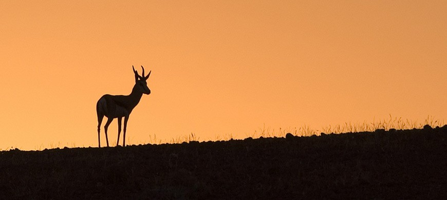 springbok2-wilderness.jpg