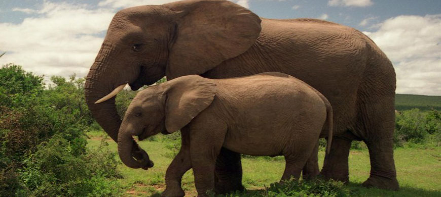 Two_Elephants_in_Addo_Eleph.jpg