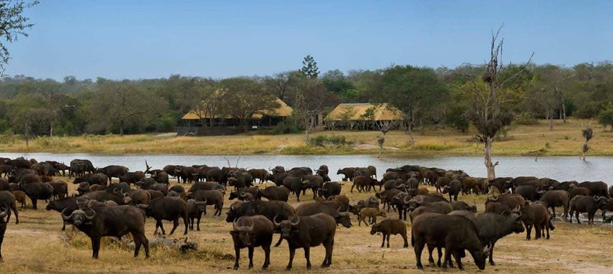 kruger-national-park-buffalo-chitwa.jpg