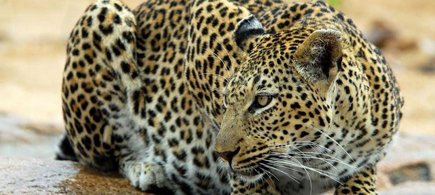 kruger-national-park-leopard-ulusaba.jpg