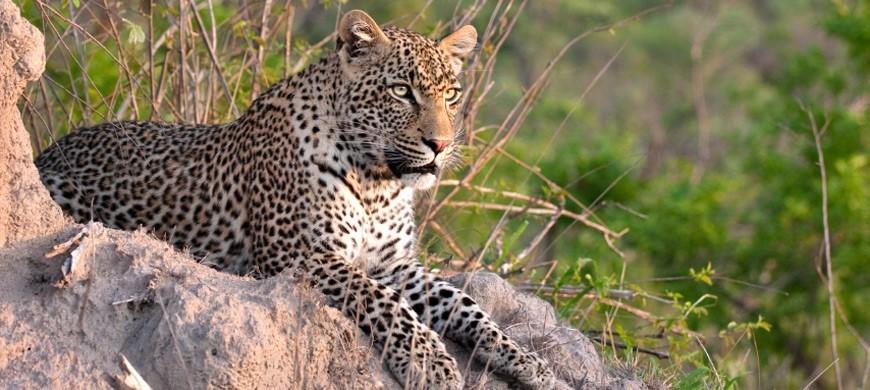 leopard-termite-mound.jpg