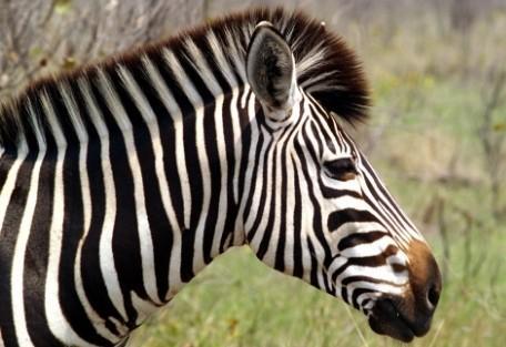 serengeti-zebra.jpg