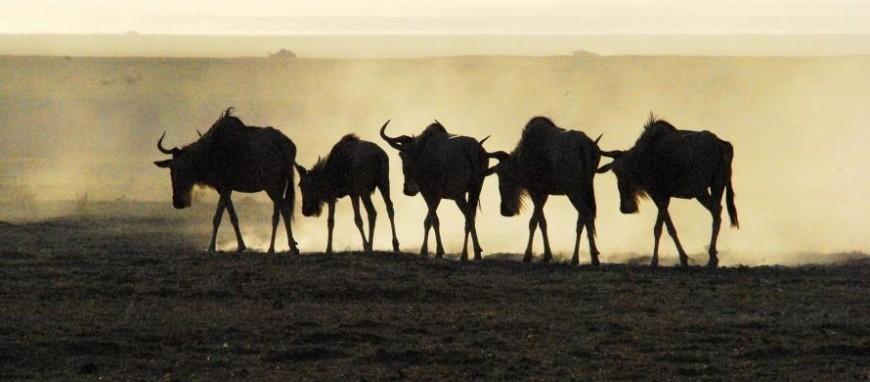 serengeti-wildebeest.jpg
