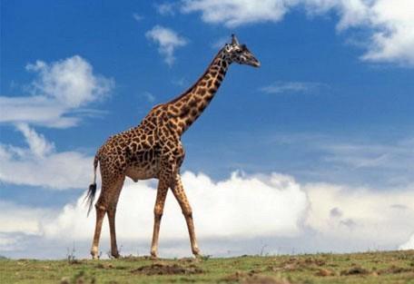 g03-giraffe.jpg
