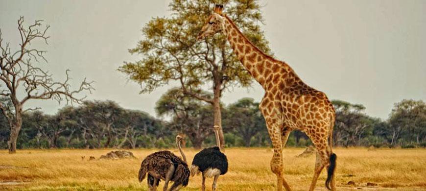 870_allofhwange_giraffe.jpg