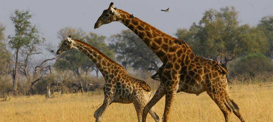870_somalisa_giraffe.jpg